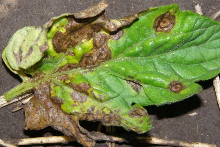 Чернеют листья - Болезни листьев у астры
