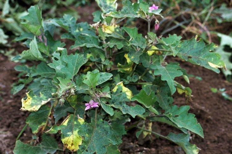 Листья желтеют и сохнут - Болезни листьев у баклажанов