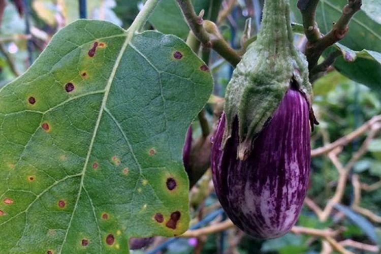 Чернеют листья - Болезни листьев у баклажанов