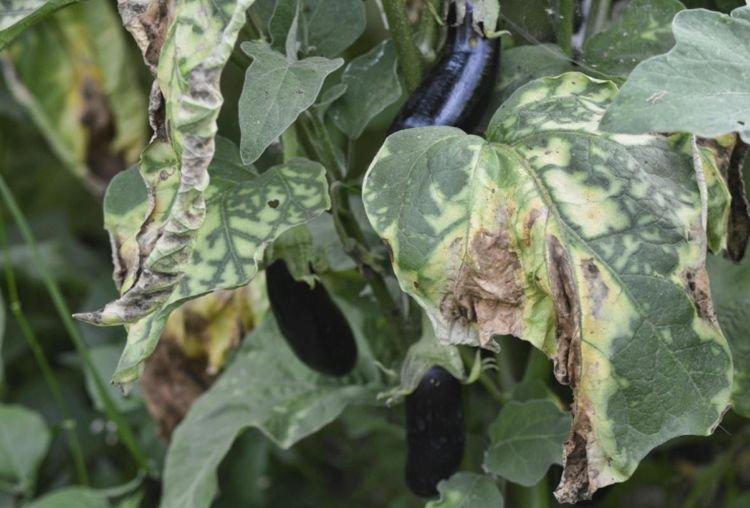 Скручиваются листья - Болезни листьев у баклажанов