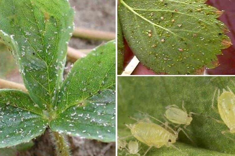 Пупырышки и бугорки на листьях - Болезни листьев клубники
