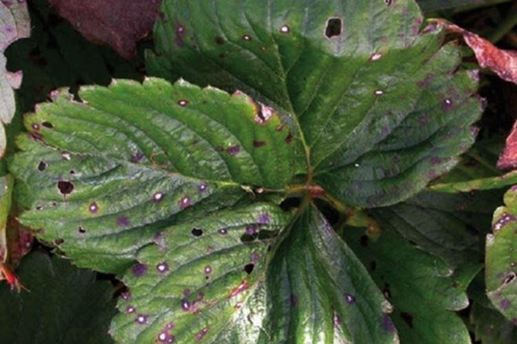Дырочки на листьях - Болезни листьев клубники