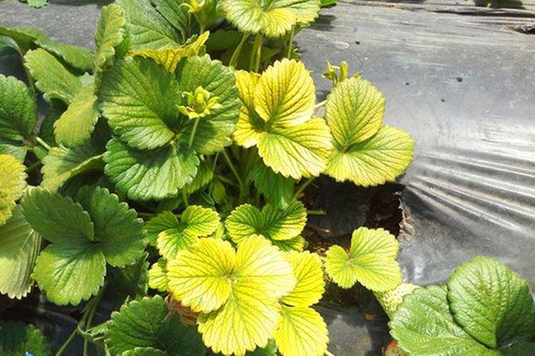 Бледные и светлые листья - Болезни листьев клубники