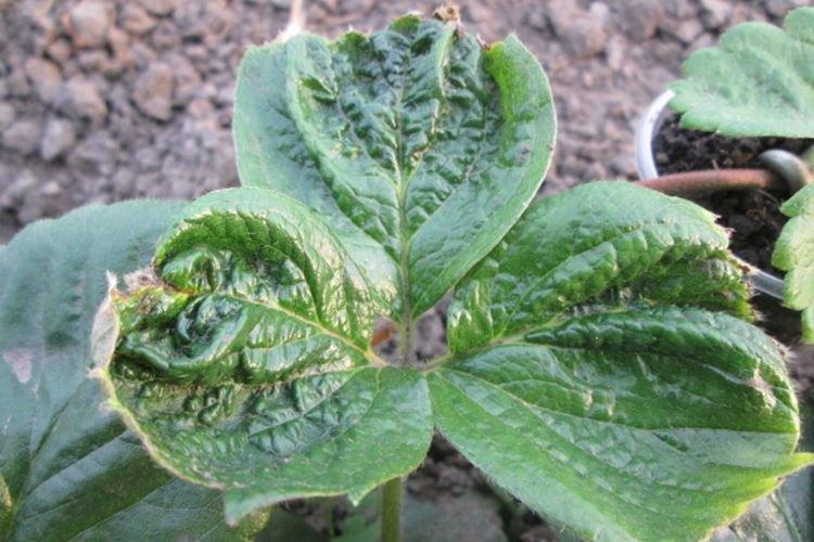 Скручиваются листья - Болезни листьев клубники