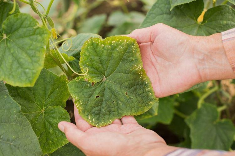 Болезни листьев у огурцов: описания с фото, лечение