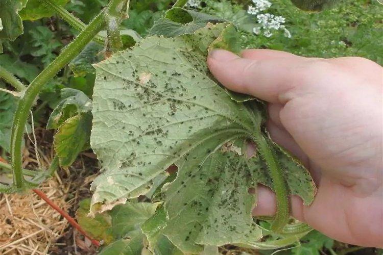 Пупырышки и бугорки на листьях - Болезни листьев у огурцов
