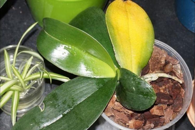 Листья желтеют и сохнут - Болезни листьев у орхидеи