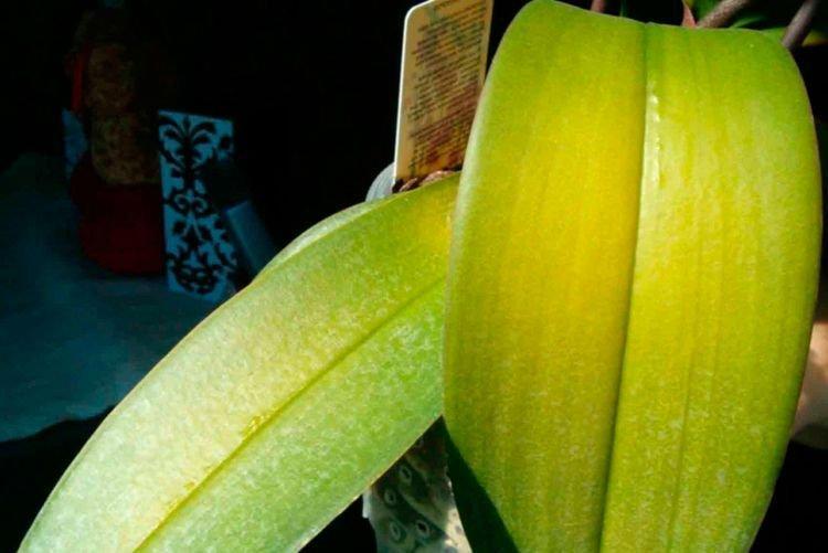 Бледные и светлые листья - Болезни листьев у орхидеи