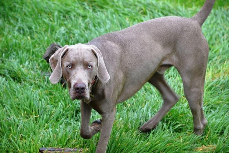 Веймаранер - Большие породы собак