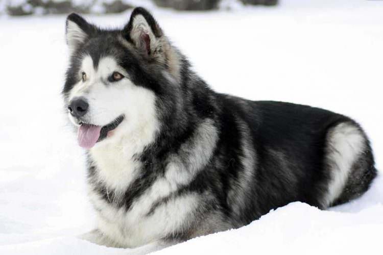 Аляскинский маламут - Большие породы собак