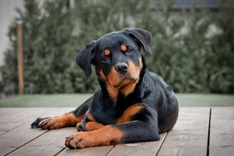 Ротвейлер - Большие породы собак