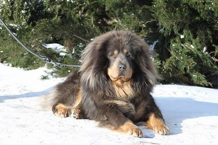 Тибетский мастиф - Большие породы собак