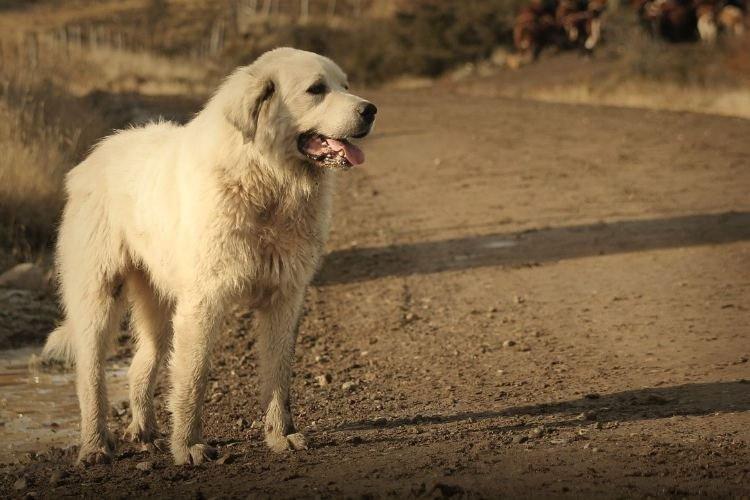 Акбаш - Большие породы собак