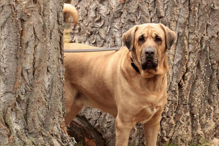 Брохольмер - Большие породы собак