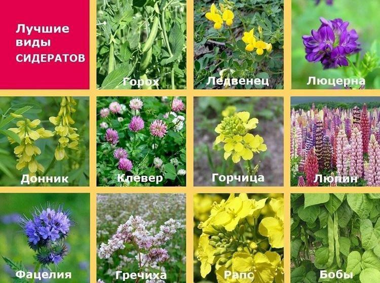 Растения сидераты - как раскислить почву на огороде