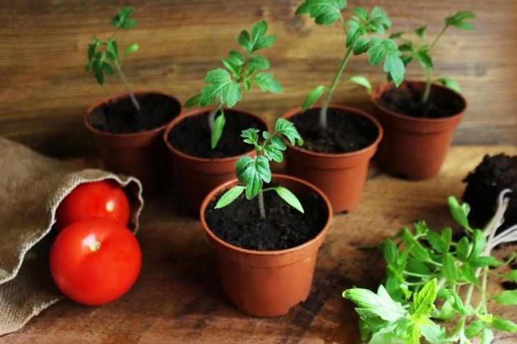 Правила подкормки рассады помидоров золой