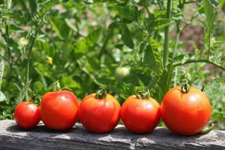 Чем подкормить рассаду помидоров после пикировки