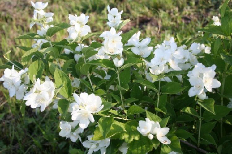 Крупноцветковый чубушник - Виды чубушника