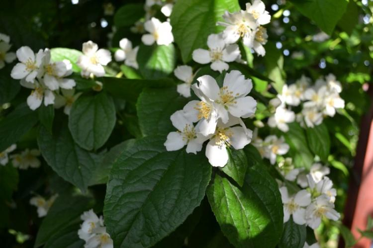 Обыкновенный чубушник - Виды чубушника