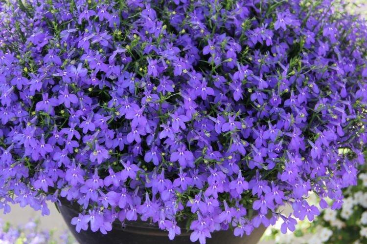 Лобелия - Цветы похожие на колокольчики