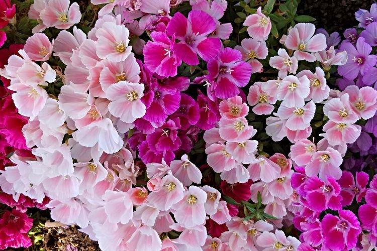 Годеция - Цветы похожие на колокольчики