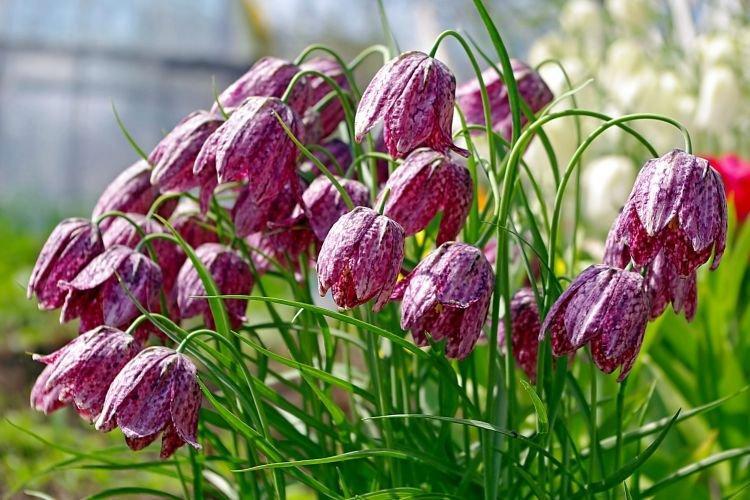 Рябчик - Цветы похожие на колокольчики