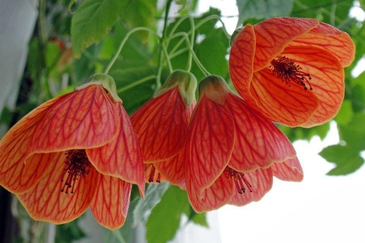 Абутилон - Цветы похожие на колокольчики