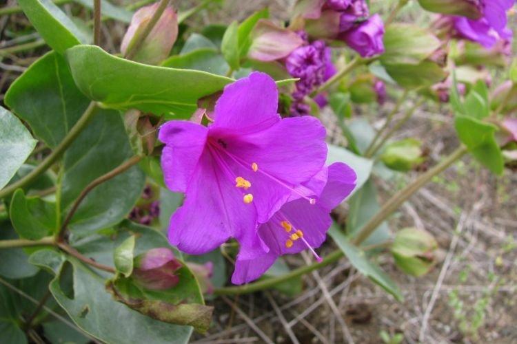 Цианантус - Цветы похожие на колокольчики