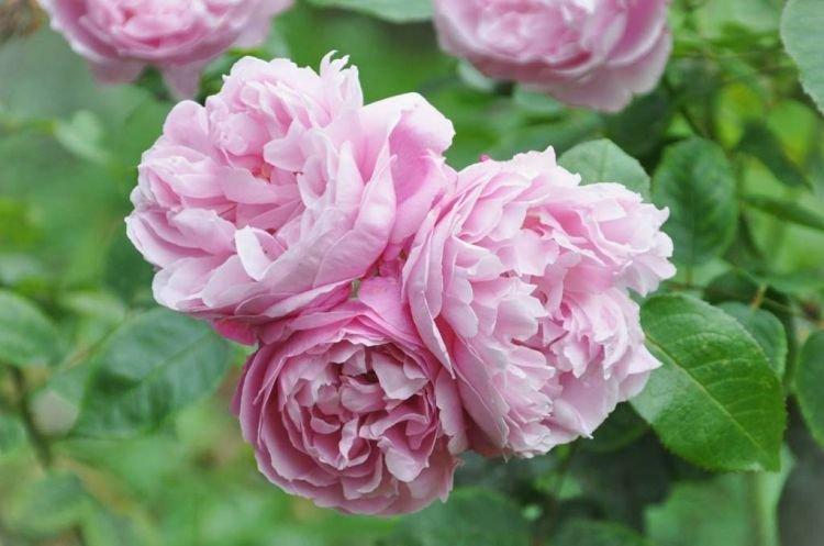 Пионовидная роза - Цветы похожие на пионы
