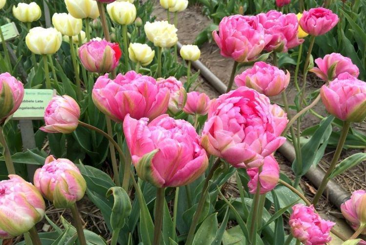 Махровый тюльпан - Цветы похожие на пионы