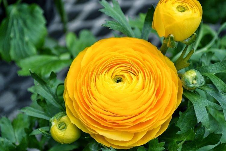 Ранункулюс - Цветы похожие на пионы