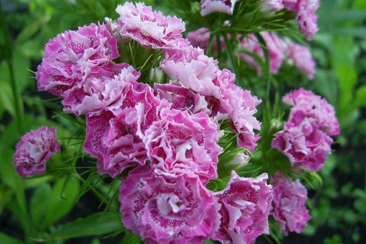 Махровая гвоздика - Цветы похожие на пионы