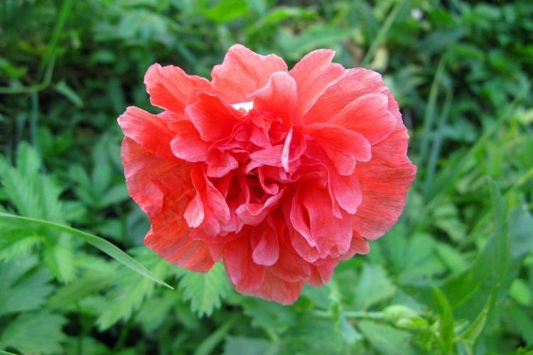 Пионовидный мак - Цветы похожие на пионы