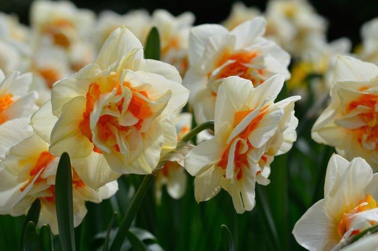 Махровый нарцисс - Цветы похожие на пионы