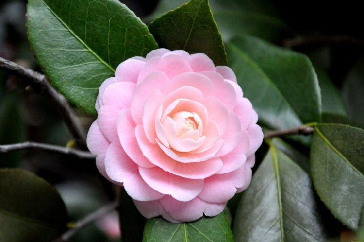 Камелия - Цветы похожие на пионы