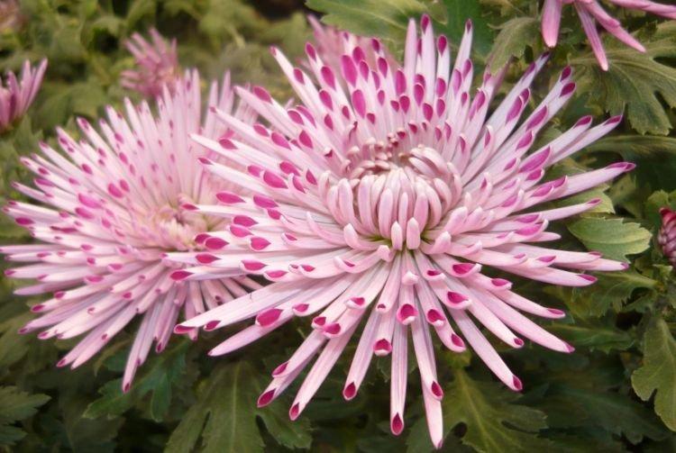 Крупноцветковая хризантема - Цветы похожие на пионы