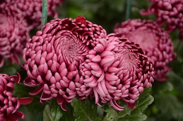 Помпонная хризантема - Цветы похожие на пионы