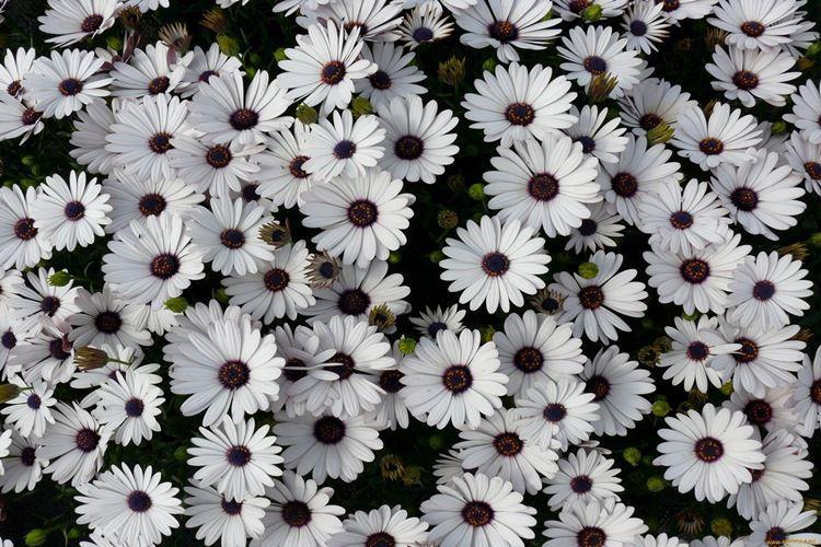 cvety-pohozhie-na-romashki-foto-674-0.jpg