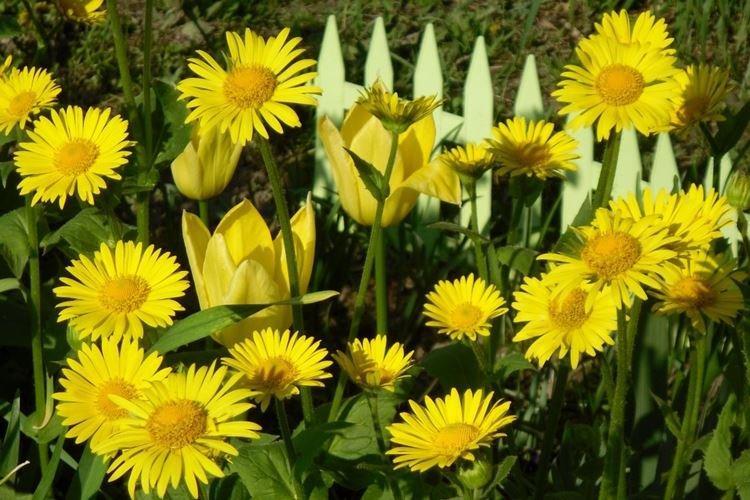 Дороникум - Цветы похожие на ромашки