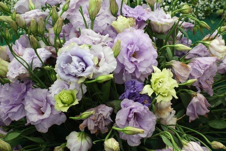 Эустома - Цветы похожие на розы