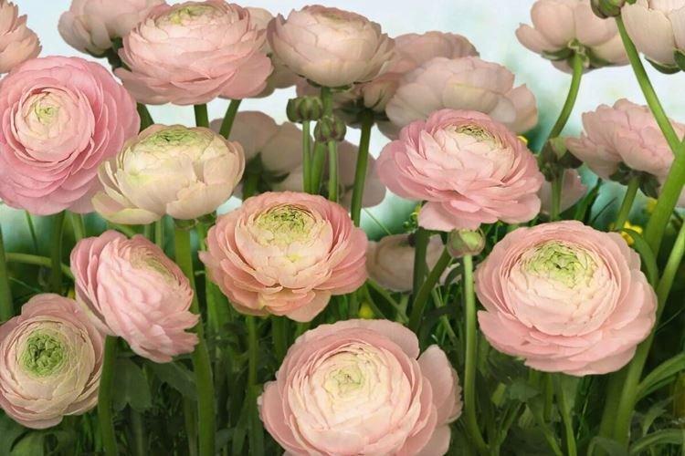 Ранункулюс - Цветы похожие на розы