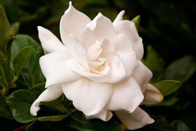 Гардения - Цветы похожие на розы