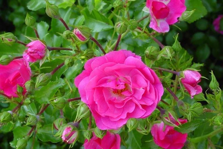 Шиповник - Цветы похожие на розы