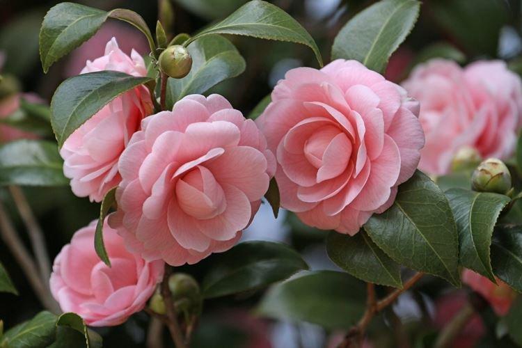 Камелия - Цветы похожие на розы