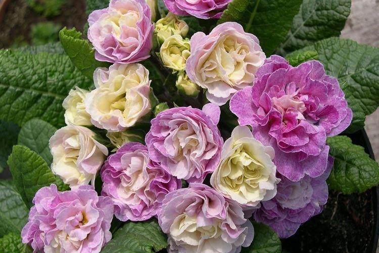 Махровая примула - Цветы похожие на розы