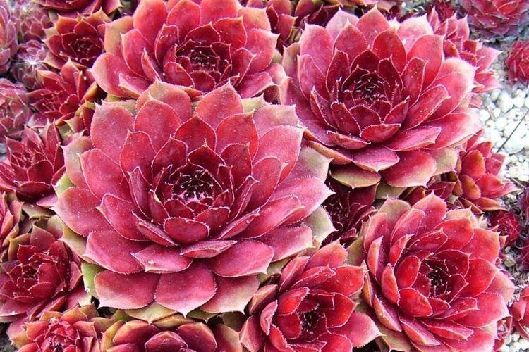 Молодило - Цветы похожие на розы