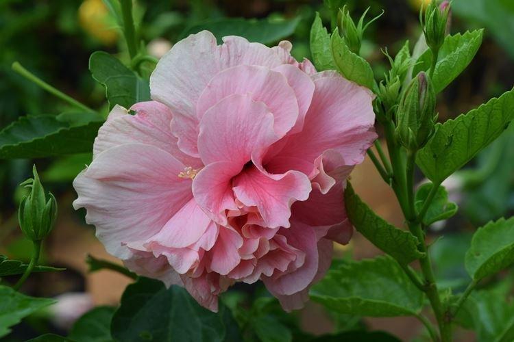Гибискус - Цветы похожие на розы