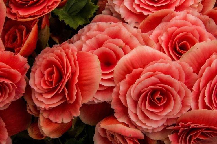 Бегония - Цветы похожие на розы