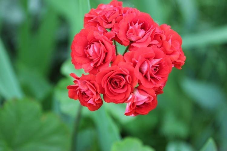 Герань - Цветы похожие на розы
