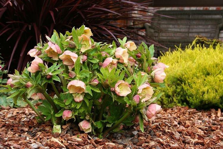 Морозник - Цветы похожие на розы